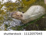 capybaras playing in the pond | Shutterstock . vector #1112057045