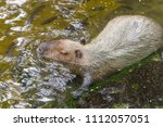 capybaras playing in the pond | Shutterstock . vector #1112057051