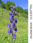 Small photo of aconite - poisonous plant