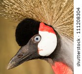 Close Up Of A Crowned Crane ...