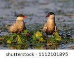 common terns  sterna hirundo... | Shutterstock . vector #1112101895