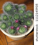 Small photo of Potted mammillaria cactus with pink flowers starting to bloom in the sun