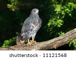 Small photo of An African Goshawk taken at a zoo