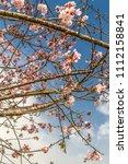 in springtime  beautiful cherry ... | Shutterstock . vector #1112158841