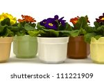 Primula flowers in pots on a white backgound - stock photo