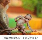 Stock photo baby macaque india banyan tree troop 111224117