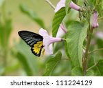 Common Southern Birdwing...