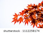 Red Acer palmatum, commonly known as palmate maple, Japanese maple or smooth Japanese-maple leaves on white background. Leaves changing its colour when autumn