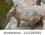 capybaras playing in the pond | Shutterstock . vector #1112282501
