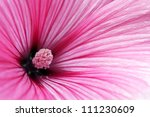 Macro Of An Annual Mallow ...