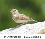 young female house sparrow on... | Shutterstock . vector #1112335661