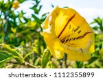 a vigorous vine called cup of... | Shutterstock . vector #1112355899