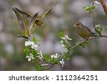 two green finches fighting ... | Shutterstock . vector #1112364251