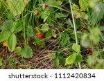 Ripe Wild Strawberry In The...