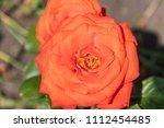 beautiful orange rose on... | Shutterstock . vector #1112454485