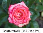 beautiful pink rose on... | Shutterstock . vector #1112454491