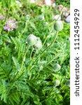 green poppy buds on flowerbed... | Shutterstock . vector #1112454929