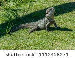 a water dragon lizard sun... | Shutterstock . vector #1112458271