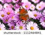 peacock butterfly sitting on... | Shutterstock . vector #1112464841