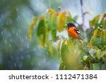 baltimore oriole  icterus... | Shutterstock . vector #1112471384
