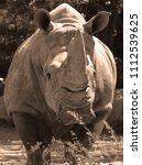 the white rhinoceros or square...   Shutterstock . vector #1112539625