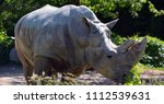 the white rhinoceros or square...   Shutterstock . vector #1112539631