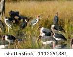 wildlife in the moremi game... | Shutterstock . vector #1112591381