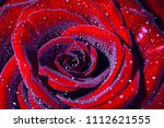 water drop on purple petals... | Shutterstock . vector #1112621555