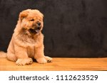 chow chow puppy in the house.... | Shutterstock . vector #1112623529