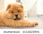 chow chow puppy in the house.... | Shutterstock . vector #1112623541
