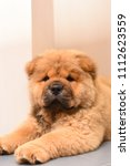 chow chow puppy in the house.... | Shutterstock . vector #1112623559