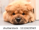 chow chow puppy in the house.... | Shutterstock . vector #1112623565