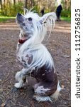 dog breed chinese crested... | Shutterstock . vector #1112756825