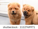 two chow chow puppy in the... | Shutterstock . vector #1112769971
