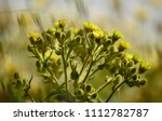 Wild Plant With Its Yellow...