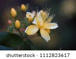 macro yellow flower in closeup.  | Shutterstock . vector #1112823617