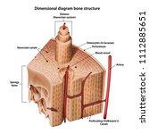 three dimensional diagram bone... | Shutterstock .eps vector #1112885651