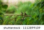 the stripe throated bulbul  or... | Shutterstock . vector #1112899109