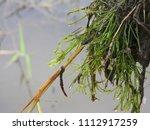 Small photo of Nitella, a freshwater algae