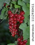 bunch of red currant | Shutterstock . vector #1112930411