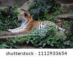 siberian tiger  panthera tigris ... | Shutterstock . vector #1112933654