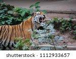 siberian tiger  panthera tigris ... | Shutterstock . vector #1112933657