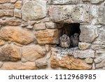 kestrel chicks in the nest.   Shutterstock . vector #1112968985