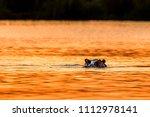 hippopotamus  hippos  in... | Shutterstock . vector #1112978141