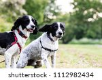 Stock photo two english springer spaniels out for a walk together with one about to run towards the camera 1112982434