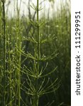close up of a horsetail
