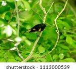 american redstart  deep in a... | Shutterstock . vector #1113000539