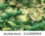 magnolia warbler perched deep... | Shutterstock . vector #1113000905
