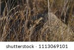 lizard on rock behind brush | Shutterstock . vector #1113069101