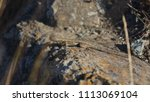 lizard on rock behind brush | Shutterstock . vector #1113069104
